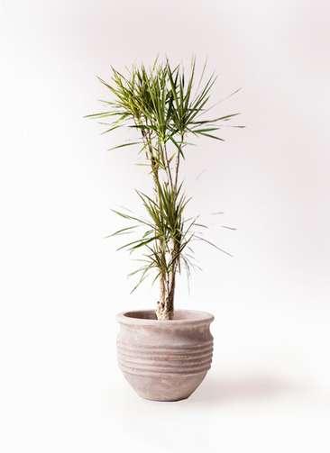 観葉植物 ドラセナ コンシンネ 8号 寄せ テラアストラ リゲル 赤茶色 付き