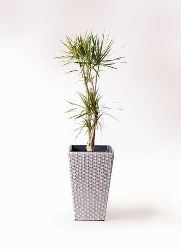 観葉植物 ドラセナ コンシンネ 8号 ウィッカーポット スクエアロング OT 白 付き
