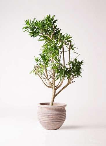 観葉植物 ドラセナ ソング オブ ジャマイカ 8号 テラアストラ リゲル 赤茶色 付き