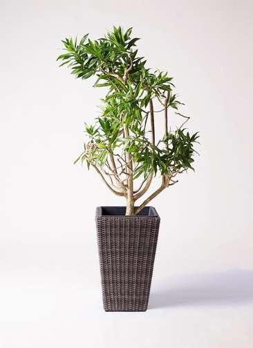 観葉植物 ドラセナ ソング オブ ジャマイカ 8号 ウィッカーポット スクエアロング OT 茶 付き
