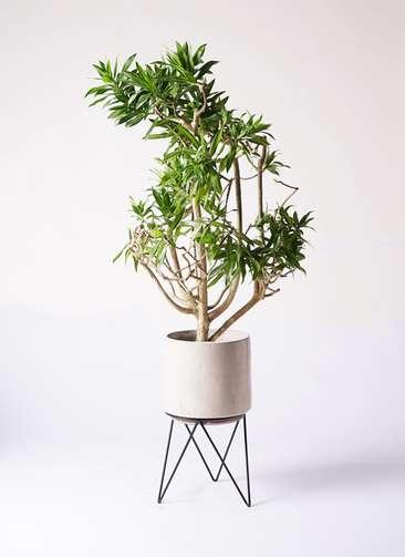観葉植物 ドラセナ ソング オブ ジャマイカ 8号 ビトロ エンデカ 鉢カバースタンド付 クリーム 付き