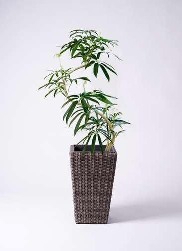 観葉植物 シェフレラ アンガスティフォリア 8号 曲り ウィッカーポット スクエアロング OT 茶 付き