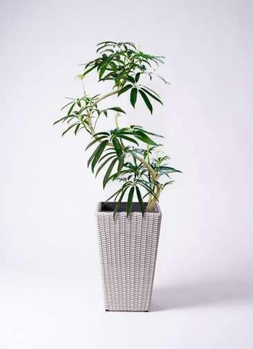 観葉植物 シェフレラ アンガスティフォリア 8号 曲り ウィッカーポット スクエアロング OT 白 付き