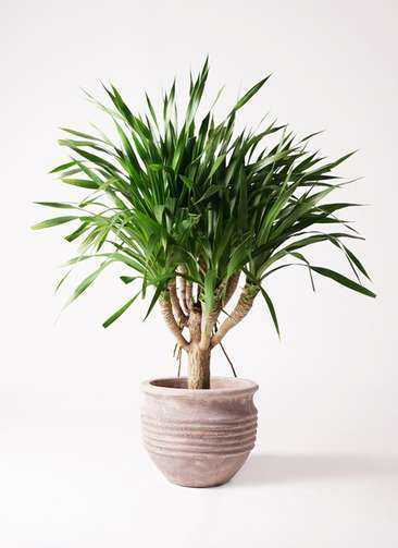 観葉植物 ドラセナ パラオ 8号 テラアストラ リゲル 赤茶色 付き