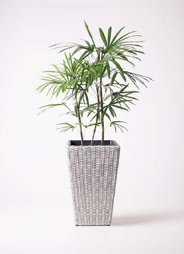 観葉植物 シュロチク(棕櫚竹) 8号 ウィッカーポット スクエアロング OT 白 付き