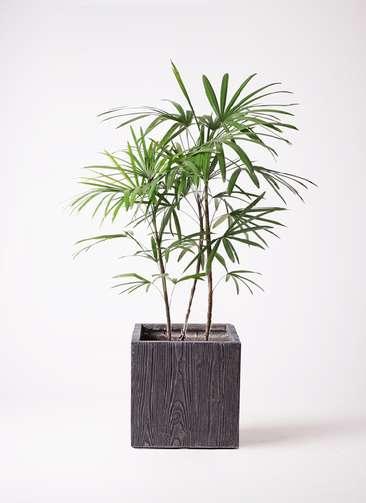 観葉植物 シュロチク(棕櫚竹) 8号 ベータ キューブプランター ウッド 茶 付き