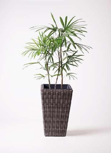 観葉植物 シュロチク(棕櫚竹) 8号 ウィッカーポット スクエアロング OT 茶 付き
