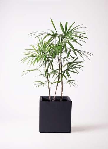 観葉植物 シュロチク(棕櫚竹) 8号 ベータ キューブプランター 黒 付き
