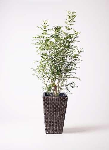 観葉植物 シマトネリコ 8号 ウィッカーポット スクエアロング OT 茶 付き