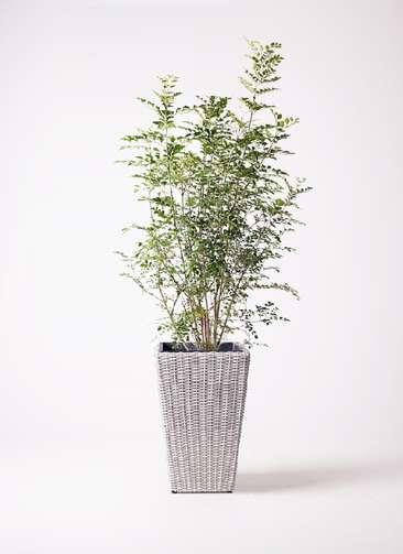 観葉植物 シマトネリコ 8号 ウィッカーポット スクエアロング OT 白 付き