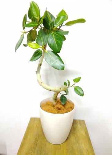 観葉植物 フィカス ベンガレンシス 【95cm】 フィカス ベンガレンシス 7号 #24150 ラスターポット付き