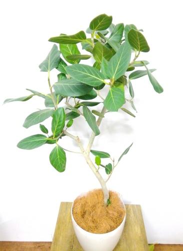 観葉植物 フィカス ベンガレンシス 【110cm】 フィカス ベンガレンシス 7号 #24149 ラスターポット付き