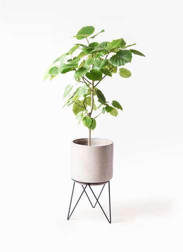 観葉植物 フィカス ウンベラータ 8号 ノーマル ビトロ エンデカ 鉢カバースタンド付 クリーム 付き