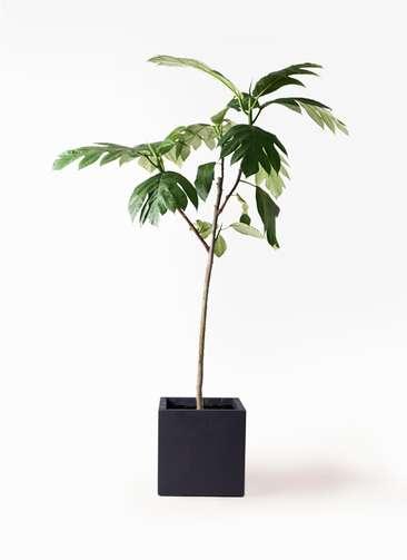 観葉植物 パンノキ 8号 ベータ キューブプランター 黒 付き