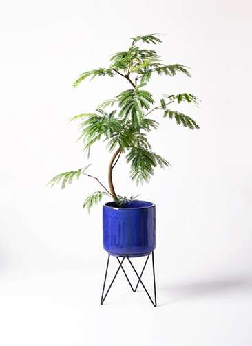 観葉植物 エバーフレッシュ 8号 曲り ビトロ エンデカ 鉢カバースタンド付 ブルー 付き