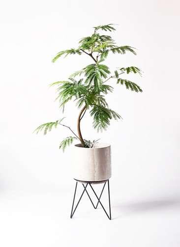観葉植物 エバーフレッシュ 8号 曲り ビトロ エンデカ 鉢カバースタンド付 クリーム 付き