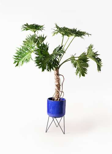 観葉植物 セローム ヒトデカズラ 8号 根あがり ビトロ エンデカ 鉢カバースタンド付 ブルー 付き