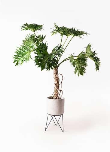 観葉植物 セローム ヒトデカズラ 8号 根あがり ビトロ エンデカ 鉢カバースタンド付 クリーム 付き