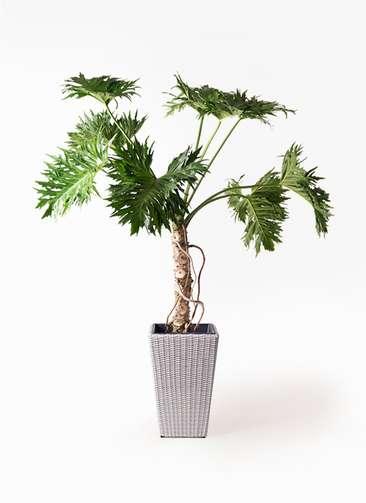観葉植物 セローム ヒトデカズラ 8号 根あがり ウィッカーポット スクエアロング OT 白 付き