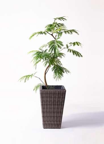 観葉植物 エバーフレッシュ 8号 曲り ウィッカーポット スクエアロング OT 茶 付き