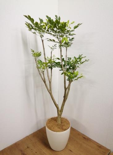 観葉植物 【155cm】タベブイア 8号 ラスターポット付き #24156 ※1都3県配送限定商品