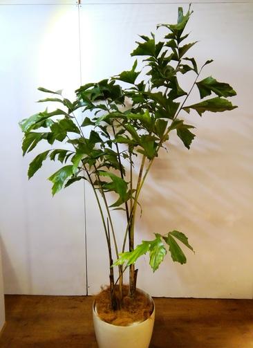 観葉植物 【195cm】クジャクヤシ 10号 ラスターポット付き #24592  ※1都3県配送限定商品
