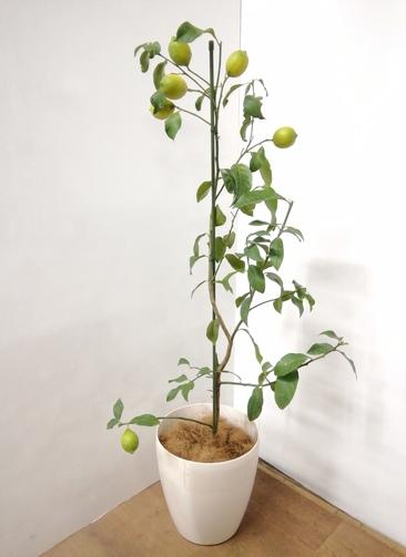レモンの木 【130cm】 レモン 8号 #23904 ラスターポット付き