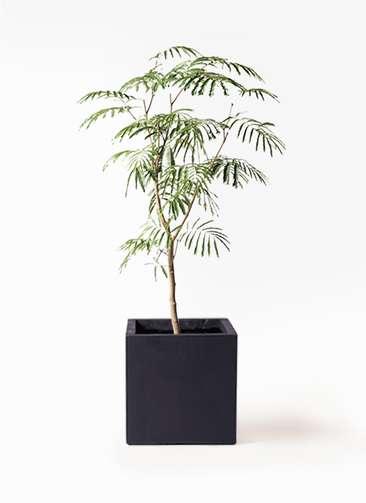 観葉植物 エバーフレッシュ 8号 ボサ造り ベータ キューブプランター 黒 付き