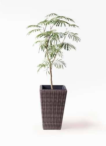 観葉植物 エバーフレッシュ 8号 ボサ造り ウィッカーポット スクエアロング OT 茶 付き