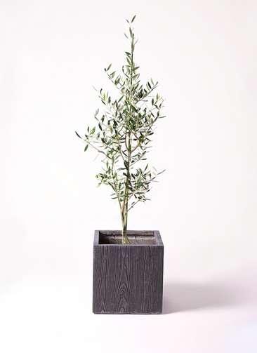 観葉植物 オリーブの木 8号 コロネイキ ベータ キューブプランター ウッド 茶 付き