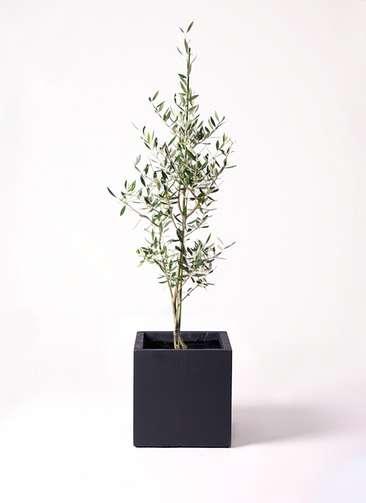 観葉植物 オリーブの木 8号 コロネイキ ベータ キューブプランター 黒 付き