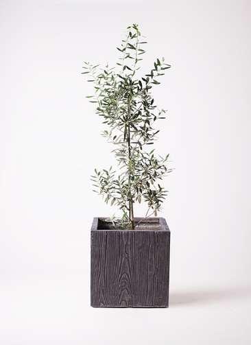 観葉植物 オリーブの木 8号 チプレッシーノ ベータ キューブプランター ウッド 茶 付き