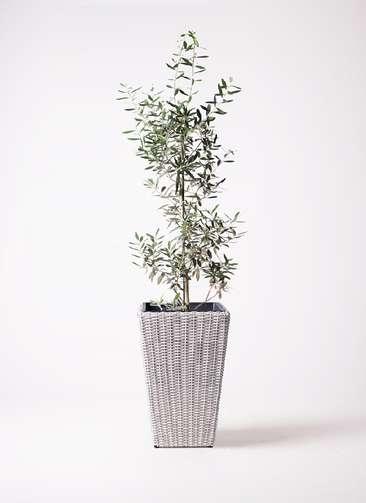 観葉植物 オリーブの木 8号 チプレッシーノ ウィッカーポット スクエアロング OT 白 付き