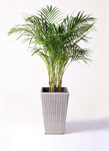 観葉植物 アレカヤシ 8号 ウィッカーポット スクエアロング OT 白 付き