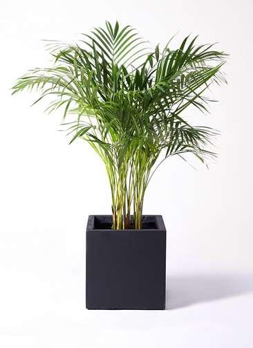 観葉植物 アレカヤシ 8号 ベータ キューブプランター 黒 付き