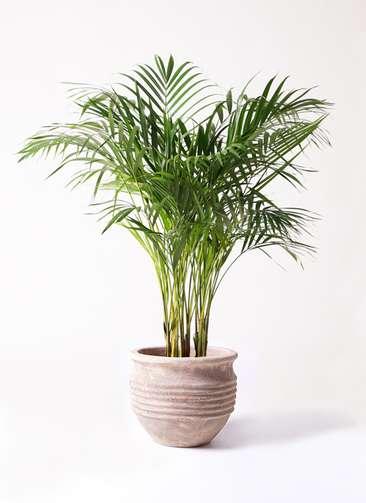 観葉植物 アレカヤシ 8号 テラアストラ リゲル 赤茶色 付き