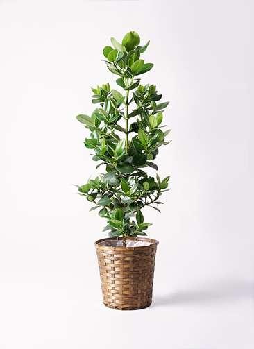 観葉植物 クルシア ロゼア プリンセス 8号 竹バスケット 付き