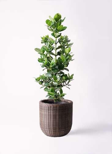 観葉植物 クルシア ロゼア プリンセス 8号 ウィッカーポットエッグ 茶 付き