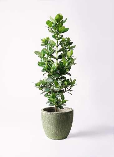観葉植物 クルシア ロゼア プリンセス 8号 アビスソニアミドル 緑 付き