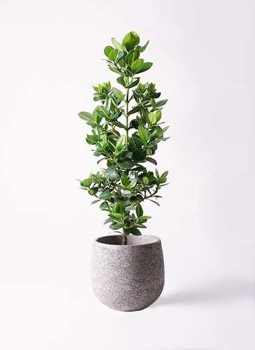 観葉植物 クルシア ロゼア プリンセス 8号 エコストーンGray 付き