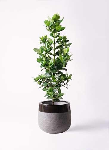 観葉植物 クルシア ロゼア プリンセス 8号 ファイバーストーンタウルス 黒 付き