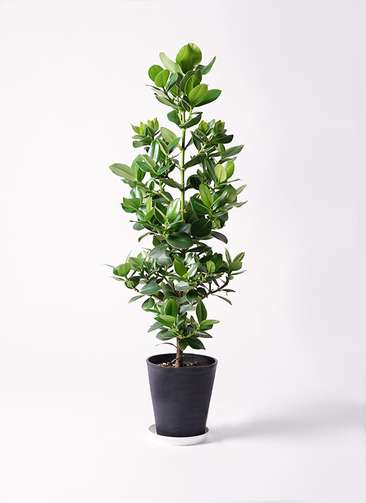 観葉植物 クルシア ロゼア プリンセス 8号 プラスチック鉢