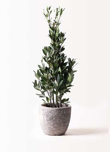 観葉植物 月桂樹 8号 アビスソニアミドル 灰 付き