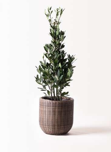 観葉植物 月桂樹 8号 ウィッカーポットエッグ 茶 付き