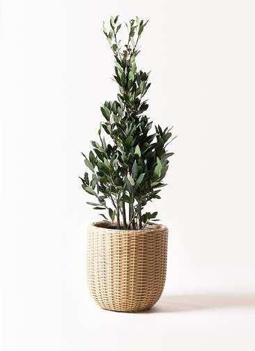 観葉植物 月桂樹 8号 ウィッカーポットエッグ ベージュ 付き