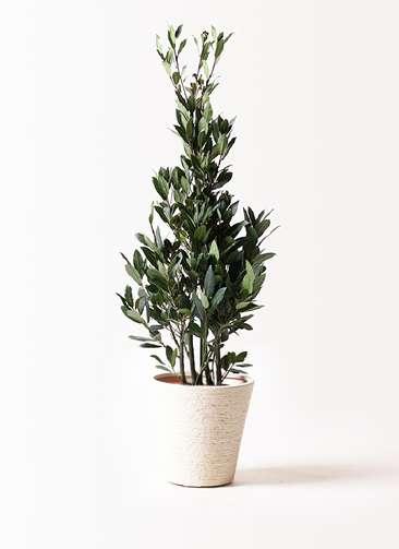 観葉植物 月桂樹 8号 ビアスソリッド 白 付き