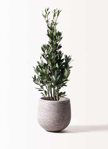 観葉植物 月桂樹 8号 エコストーンGray 付き