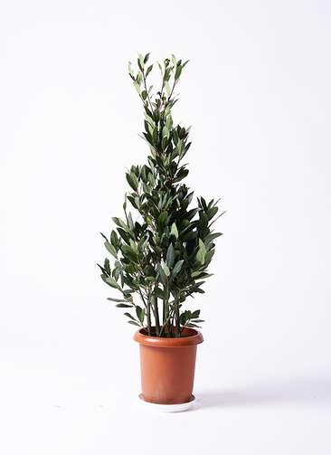 観葉植物 月桂樹 8号 プラスチック鉢