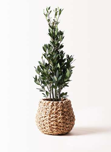 観葉植物 月桂樹 8号 ラッシュバスケット Natural 付き