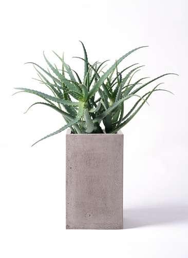 観葉植物 キダチアロエ 8号 8号セドナロング グレイ 付き